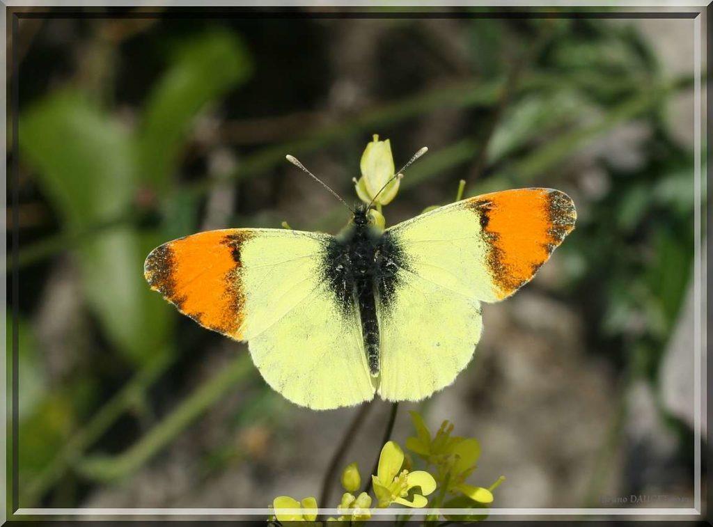 Aurore de Provence mâle posé sur fleurs jaunes ailes écartées
