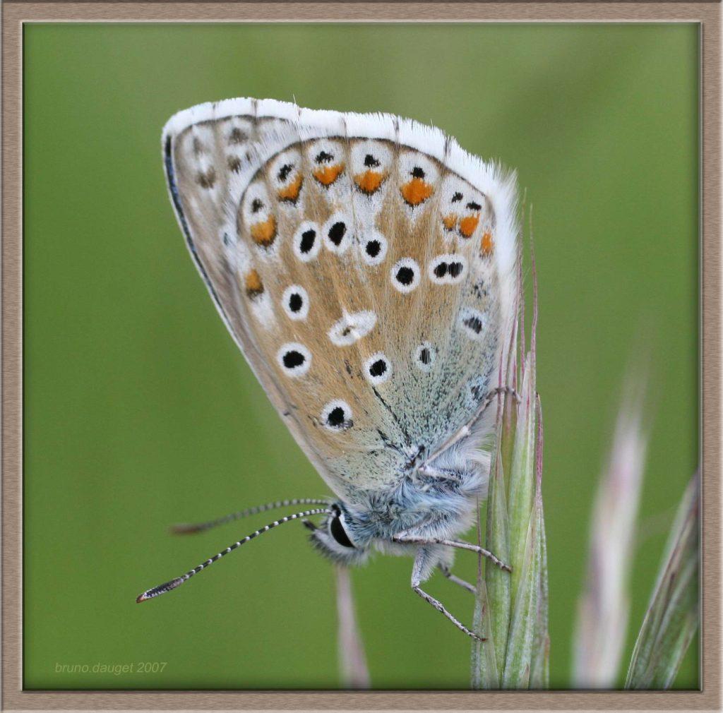 Azuré bleu-céleste posé au sommet d'une graminée ailes refermées