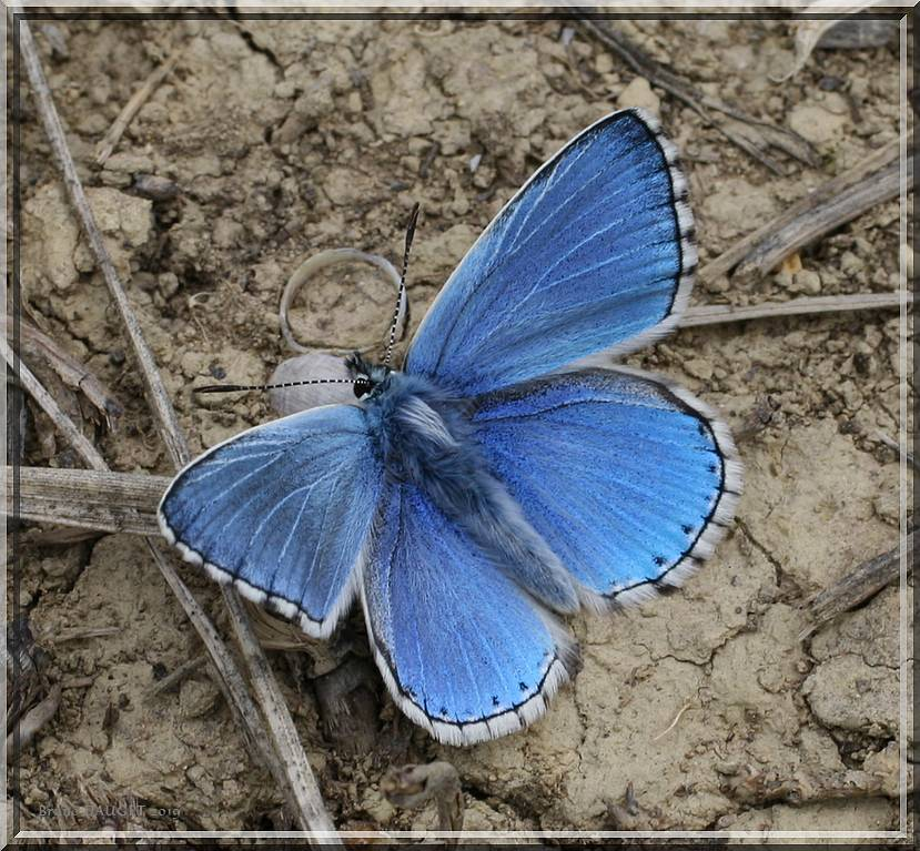 Azuré bleu-céleste mâle posé au sol ailes écartées.