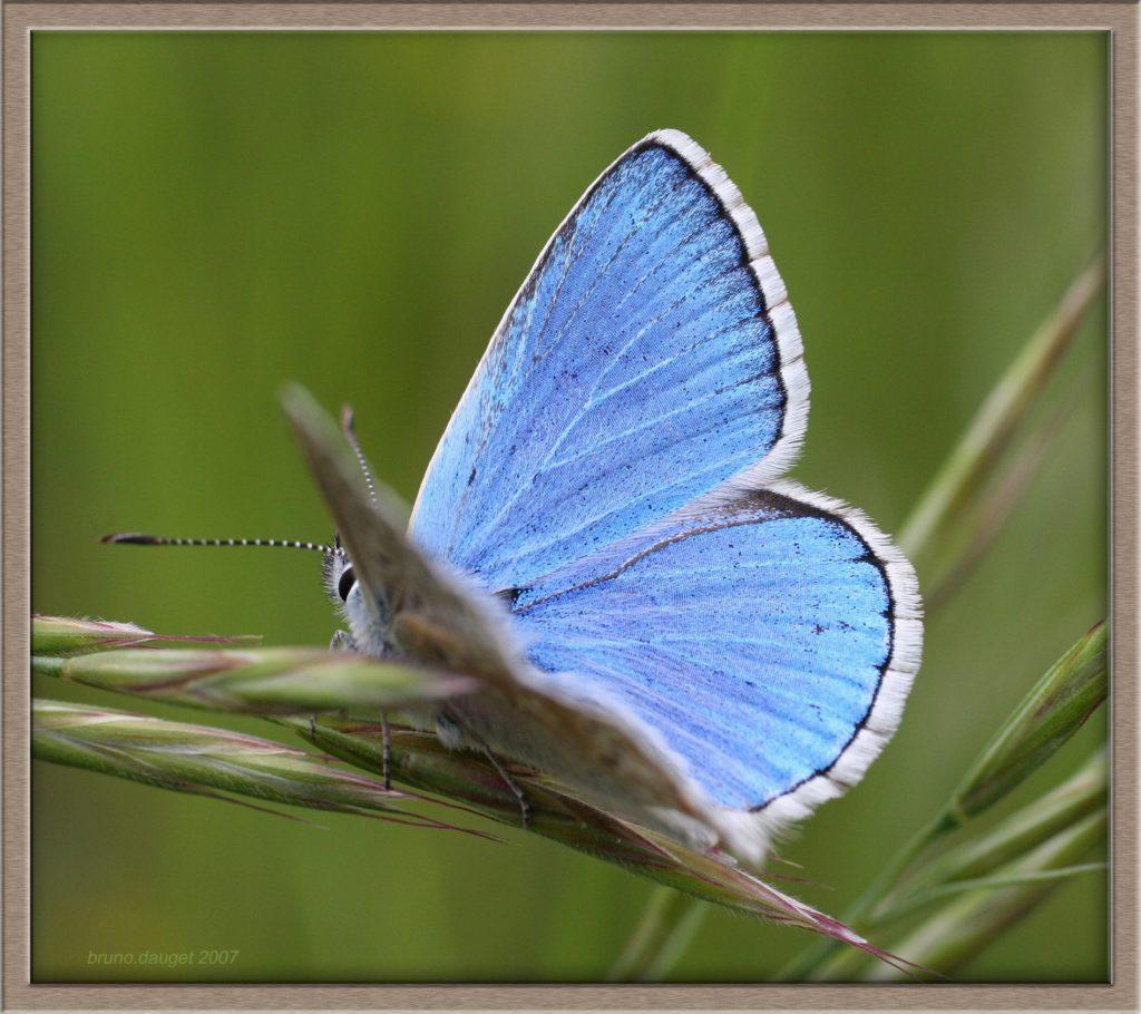 Azuré bleu-céleste mâle posé sur une graminée ailes entrouvertes