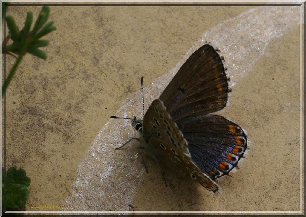 Azuré bleu-céleste femelle posée au sol ailes ouvertes