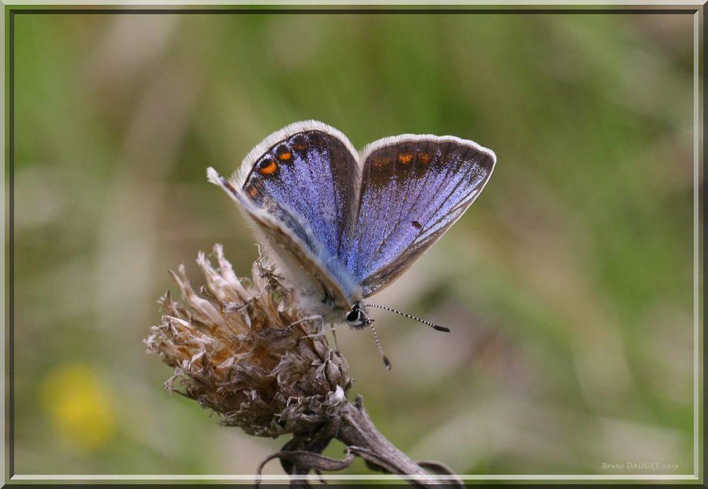 Azuré bleu-céleste femelle posée au sommet d'une fleur déséchée ailes ouvertes
