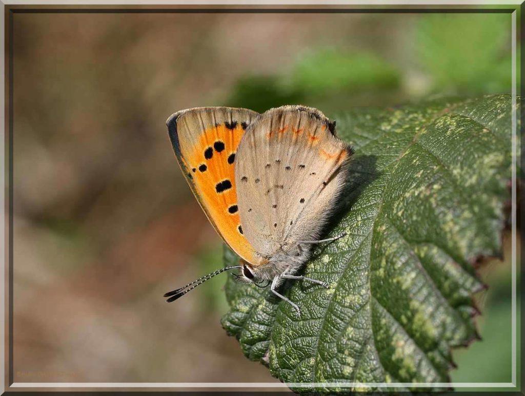 Cuivré commun posé sur une feuille ensoleillée ailes refermées