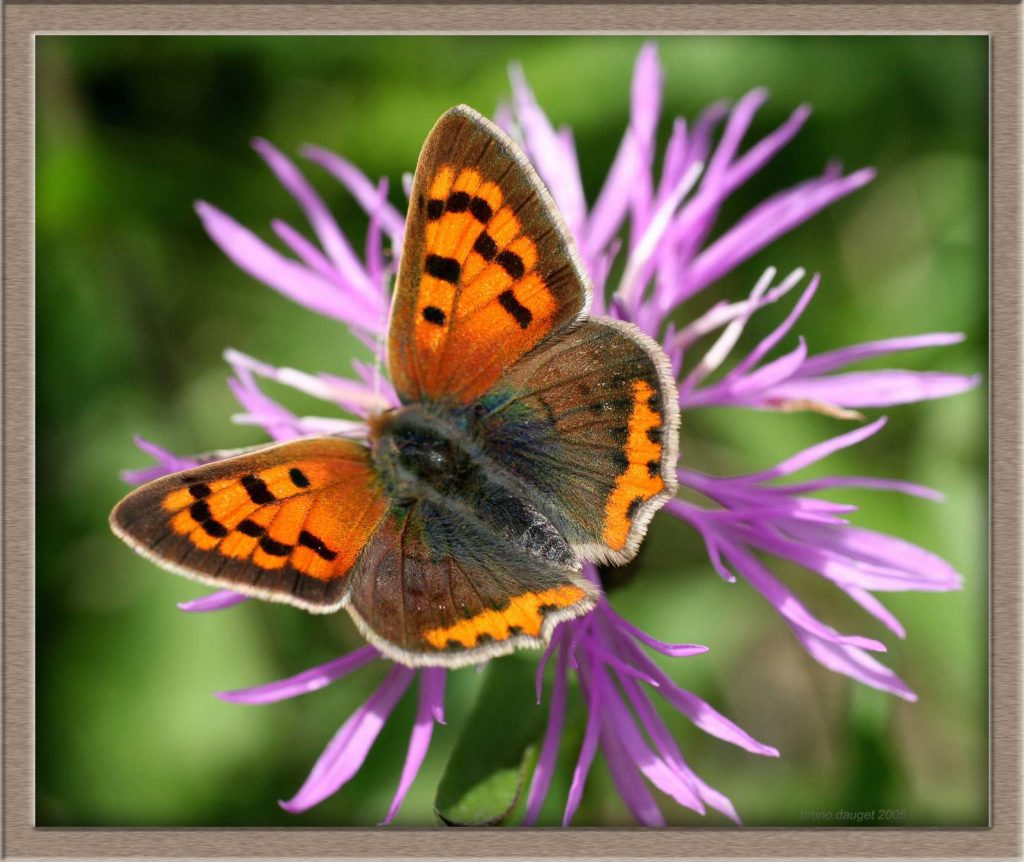 Cuivré commun butinant une fleur mauve de Centaurée ailes écartées