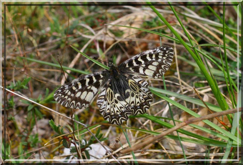 Diane posée sur herbe ailes écartées