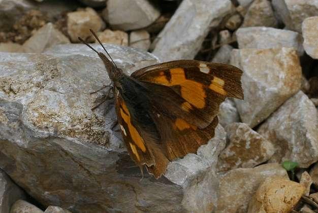 Echancré posé au sol ailes écartées