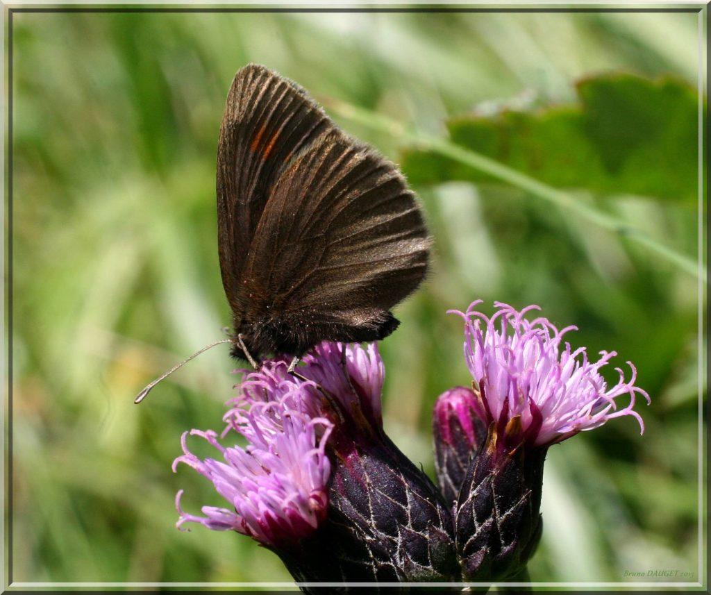 Moiré variable butinant fleur de Cirse ailes repliées