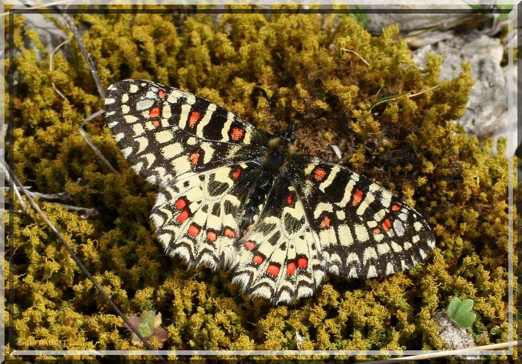 Proserpine posée sur mousse ailes écartées