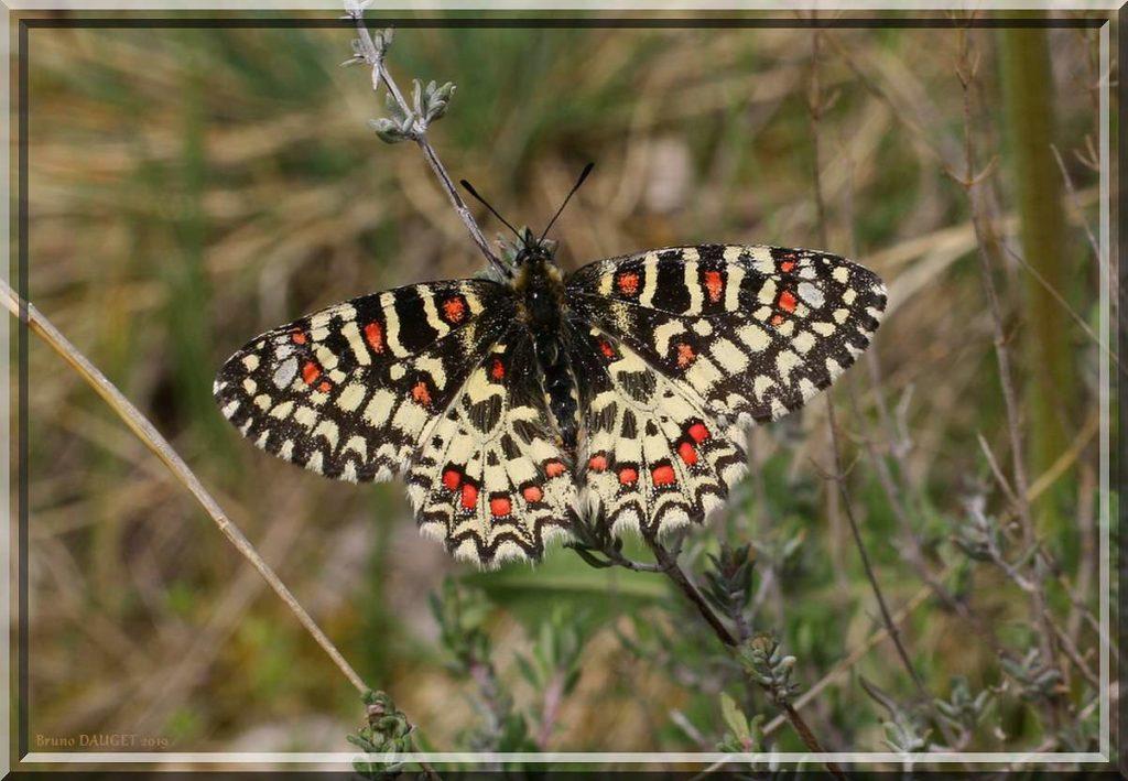 Proserpine posée sur brin de Thym ailes écartées