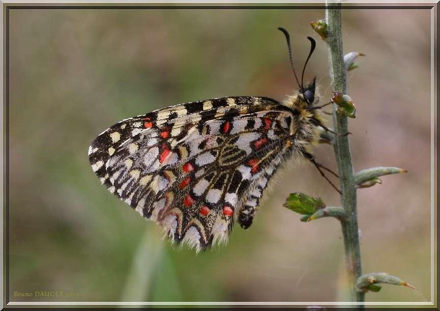 Proserpine posée sur tige ailes repliées
