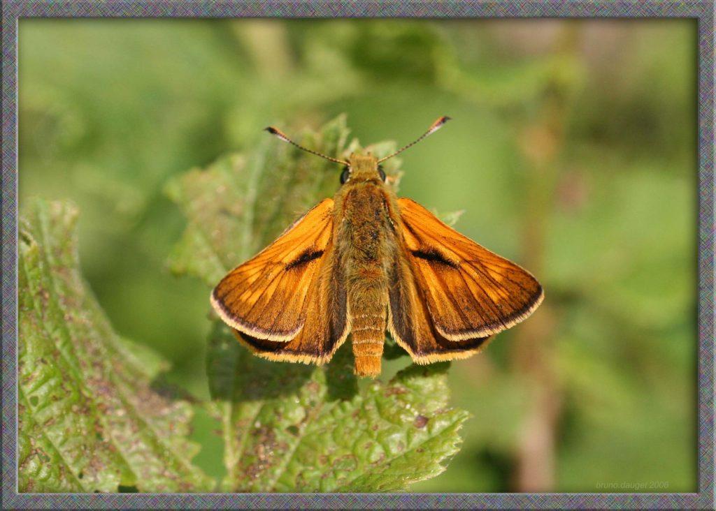 Sylvaine posée sur une feuille ailes écartées au soleil