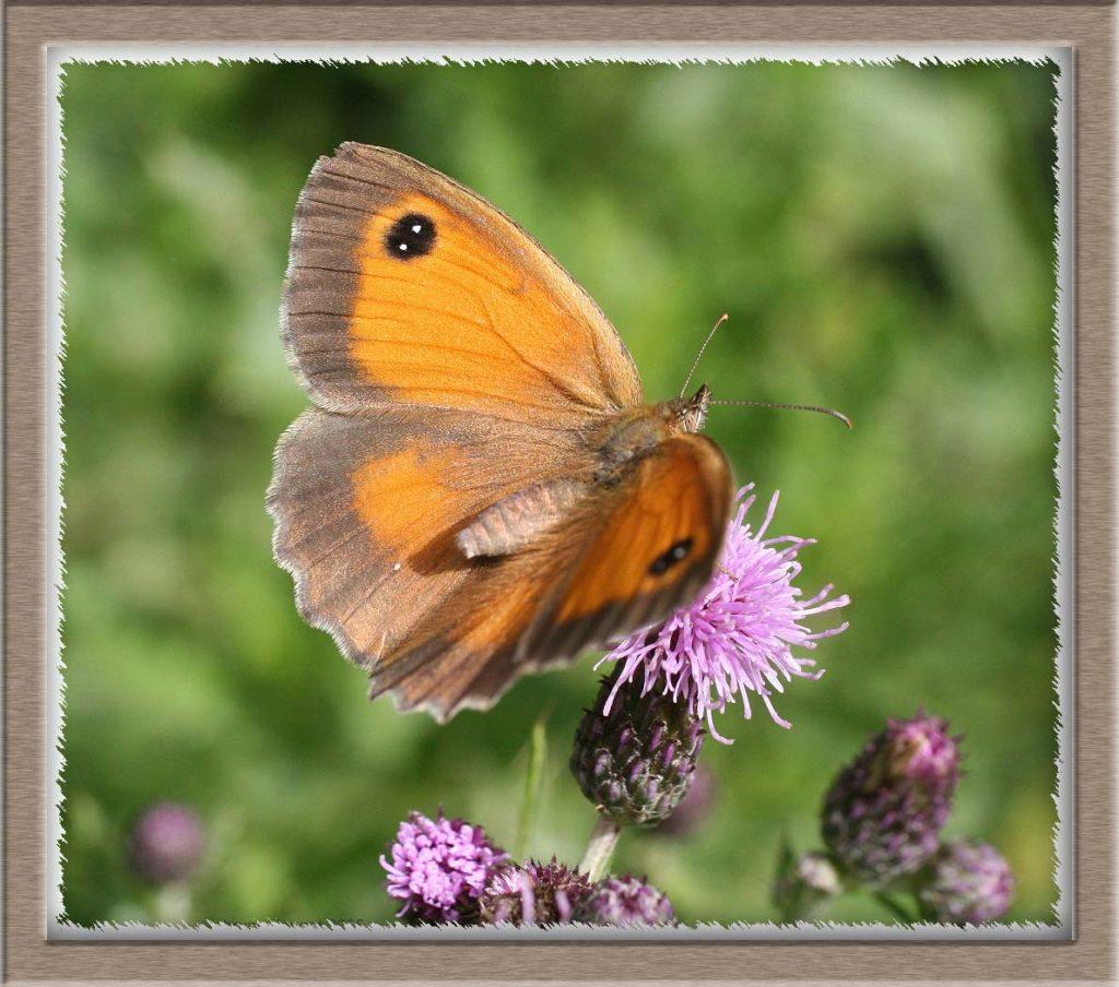 Amaryllis femelle sur une fleur mauve de Cirse ailes écartées