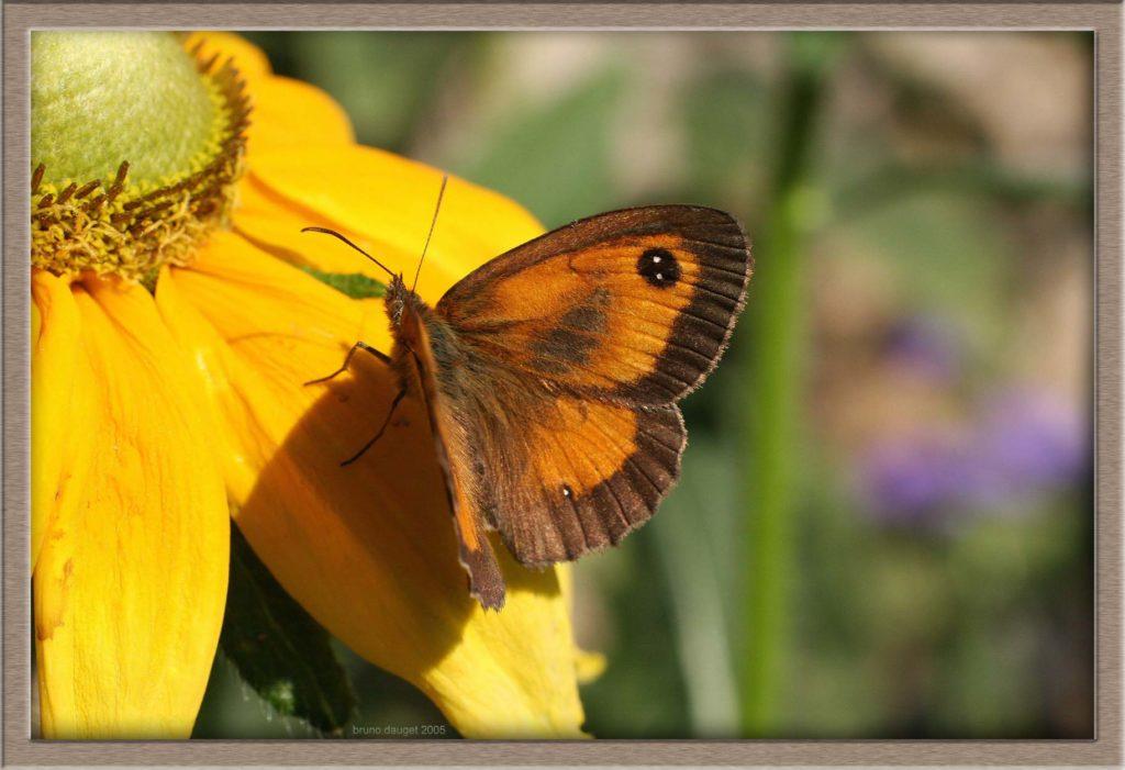 Amaryllis mâle posé sur une fleur jaune de Rudbeckia ailes écartées en direction du soleil