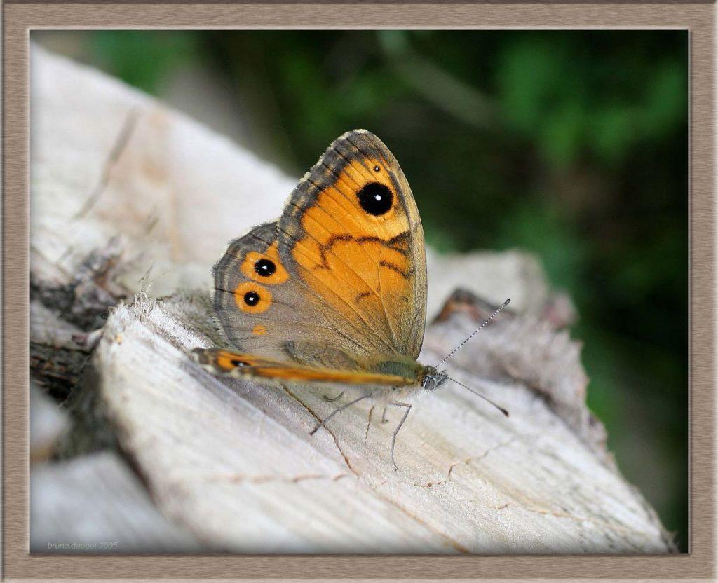 Ariane posée sur bois ailes ecartées