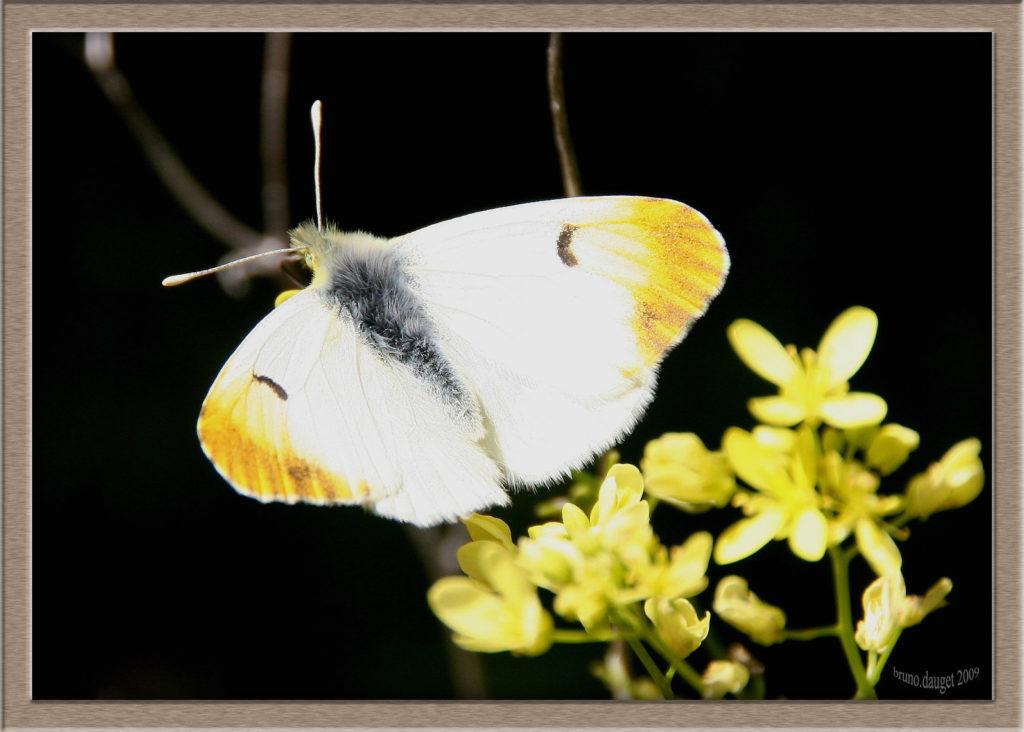 Aurore de Provence femelle posée ailes écartées