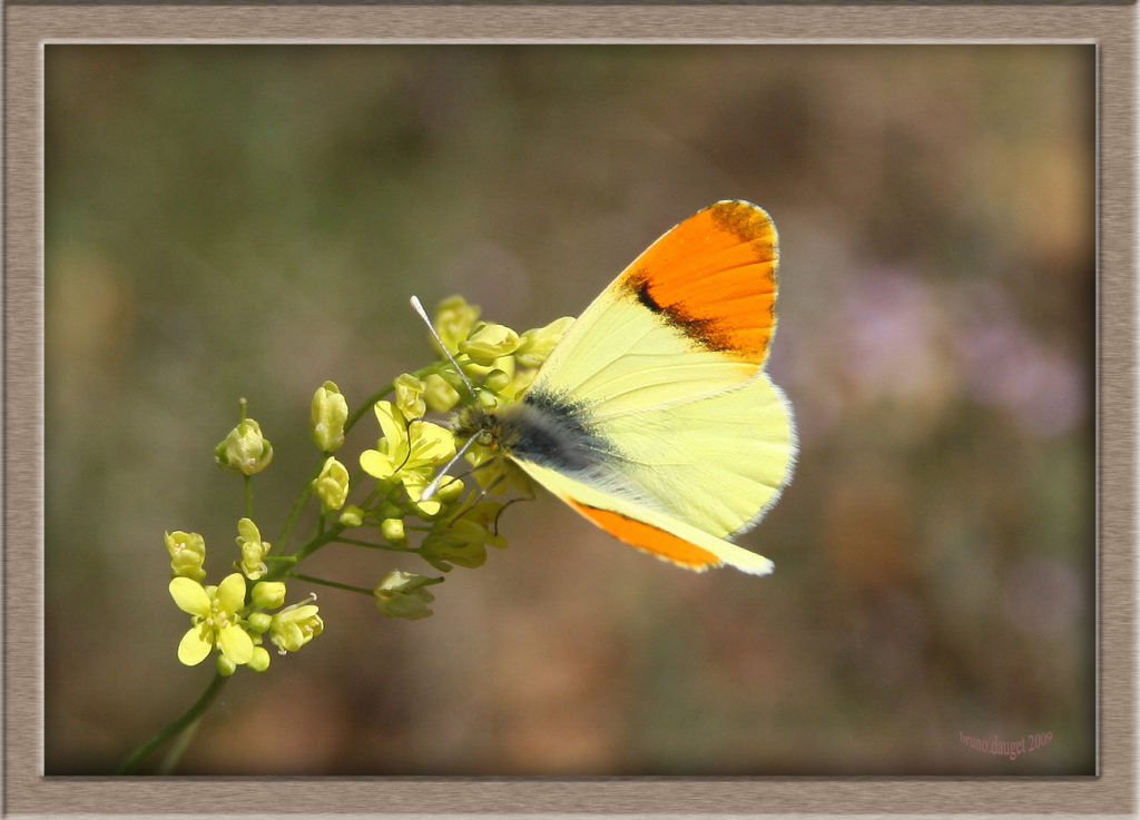 Aurore de Provence mâle posé sur des fleurs jaunes ailes écartées