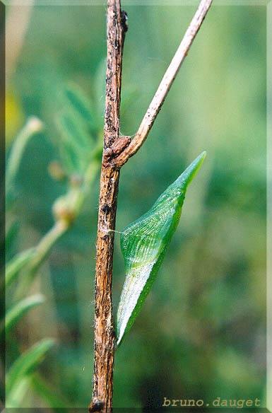 Nymphose de l'Aurore