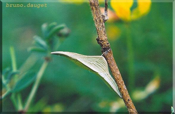 Chrysalide de l'Aurore attachée tige ligneuse