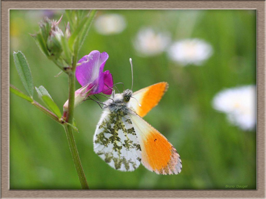 Aurore mâle posé sur fleur mauve Pois de senteur ailes écartées