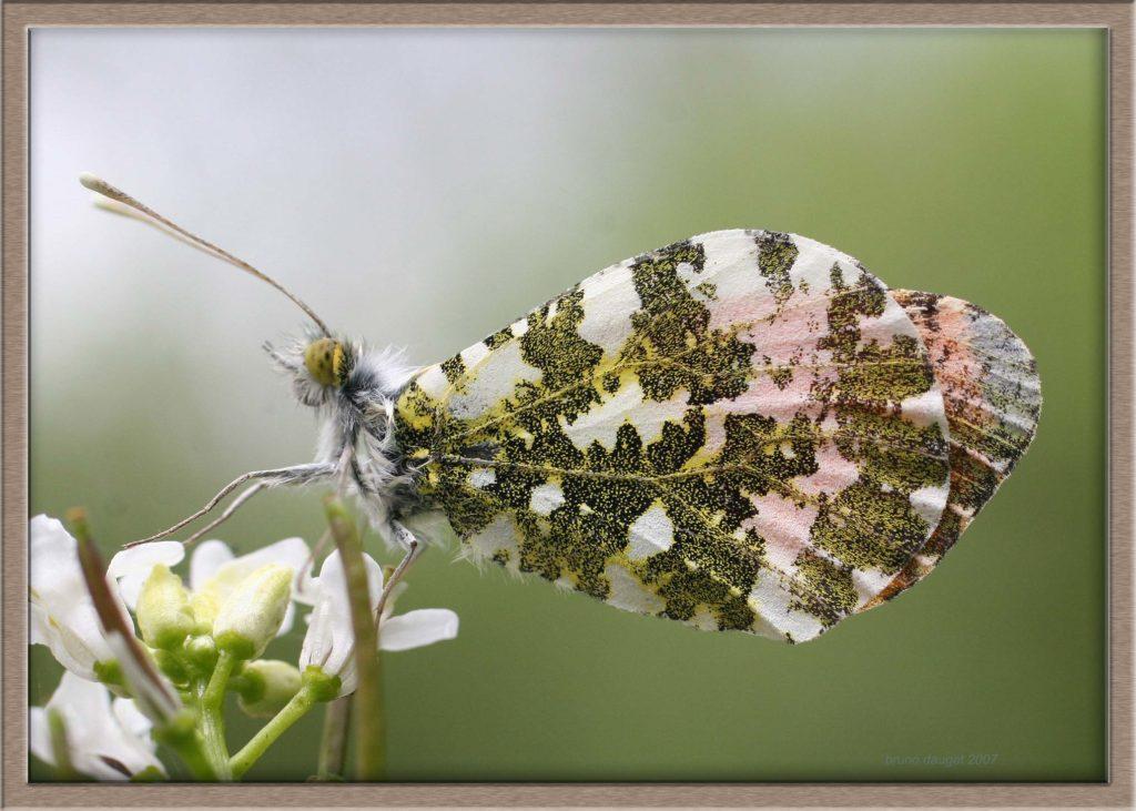 Aurore mâle posé sur fleurs de Cardamines ailes repliées