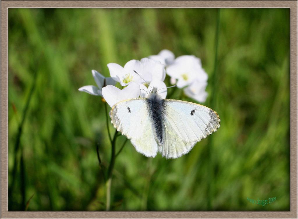 Aurore femelle posée sur fleurs de Cardamines ailes écartées