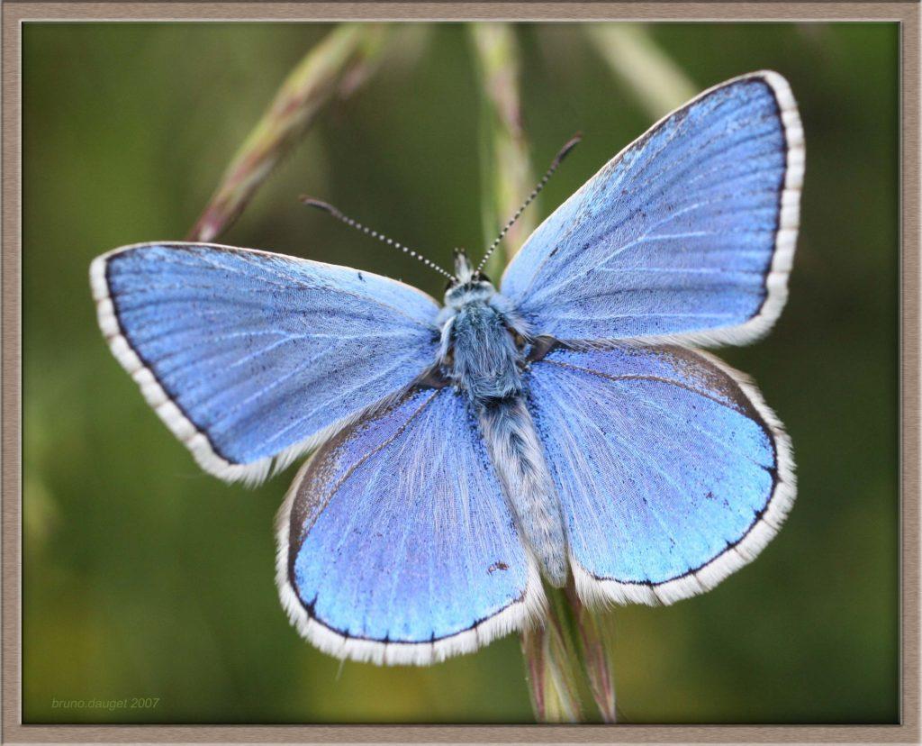 Azuré bleu-céleste mâle ailes ouvertes avec reflets métalliques