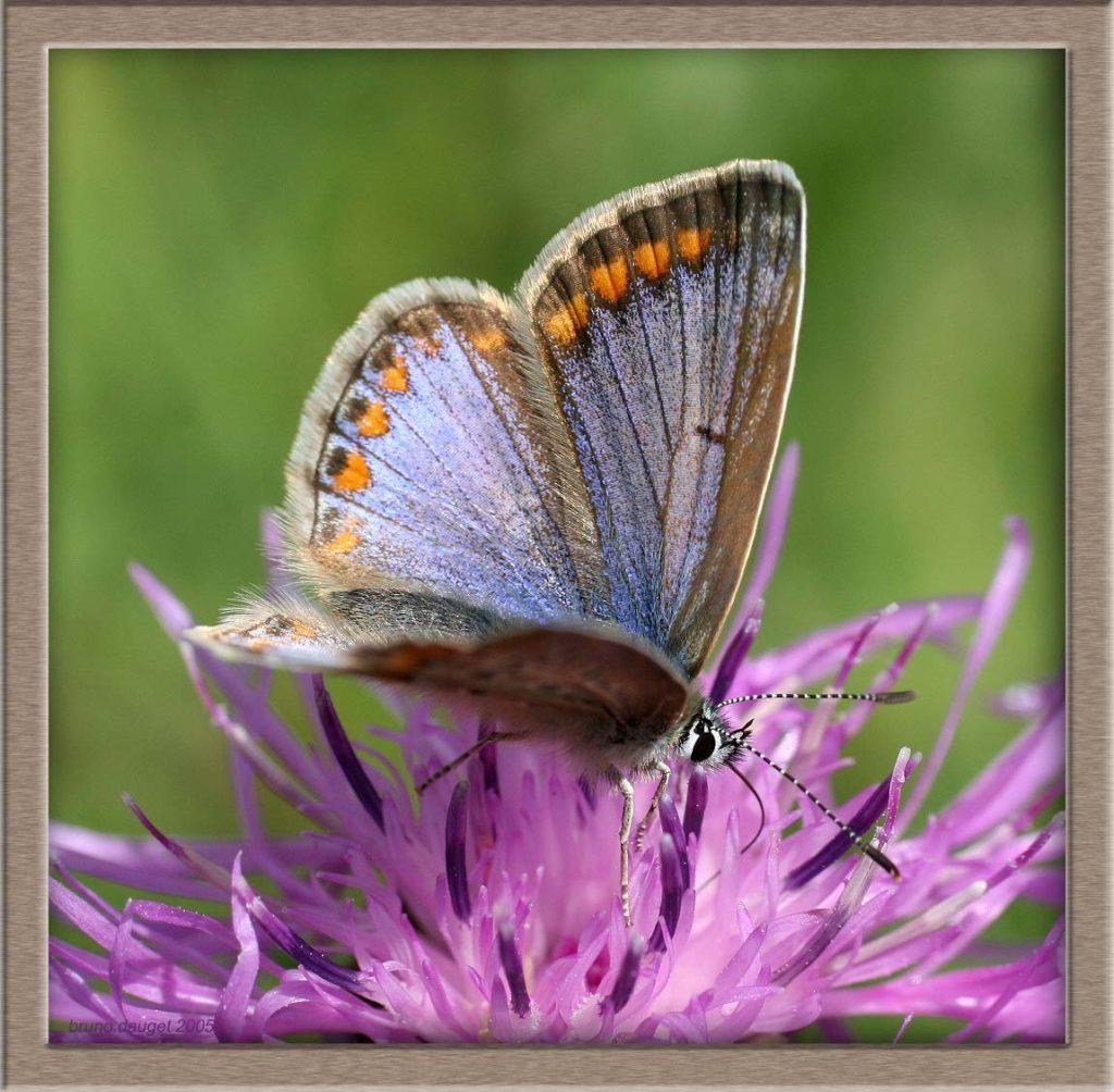 Azuré de la Bugrane femelle sur une fleur mauve de Centaurée ailes ouvertes