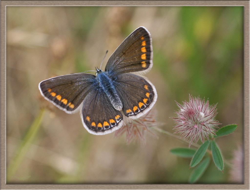 Azuré de la Bugrane femelle ailes écartées