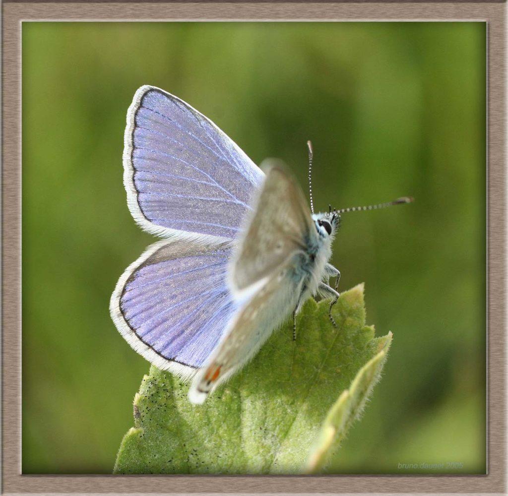 Azuré de la Bugrane mâle posé ailes écartées et orienté vers le Soleil