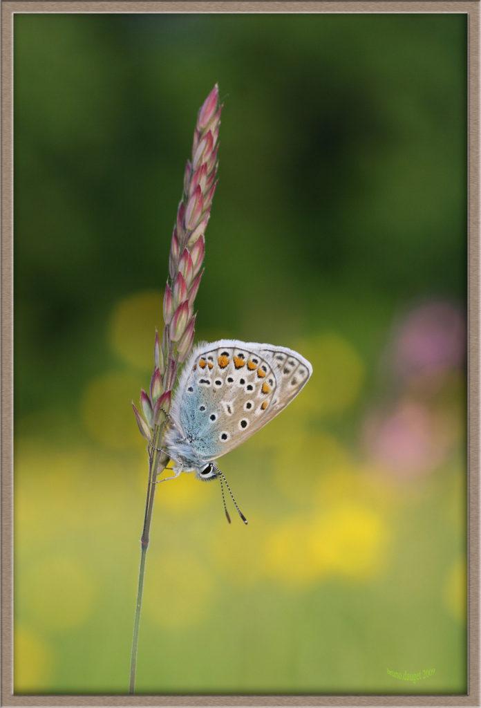 Azuré de la Bugrane posé sur une graminée ailes repliées