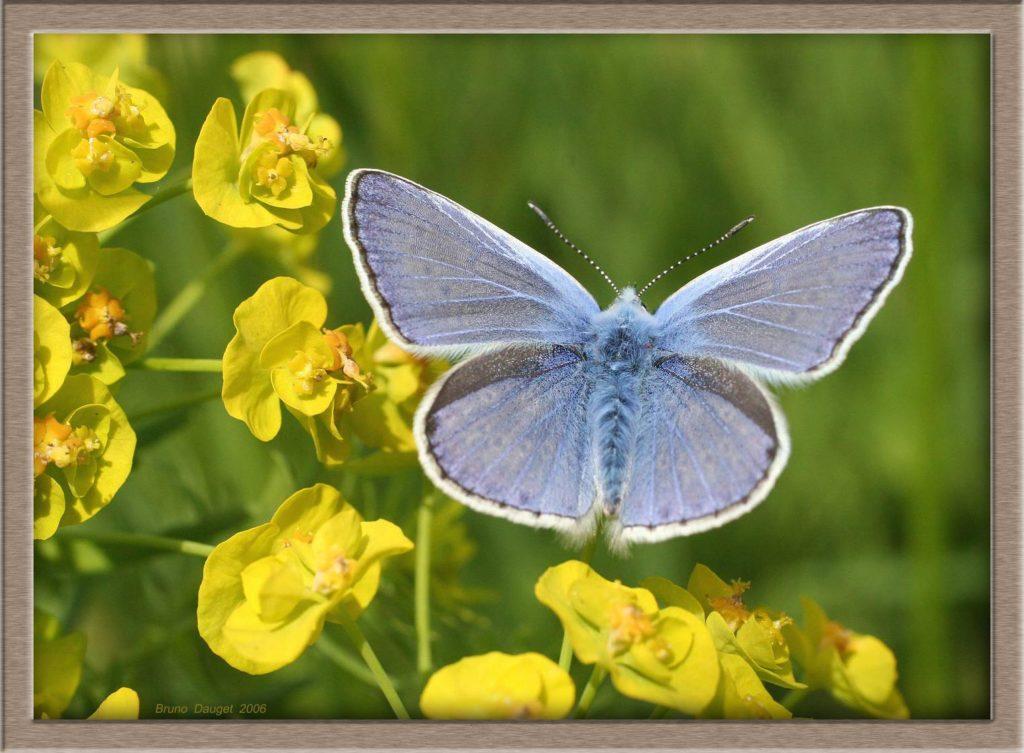 Azuré de la Bugrane mâle ailes ouvertes sur fleurs jaunes d'Euphorbes