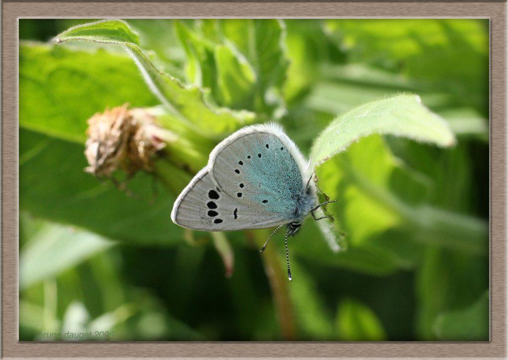 Azuré des Cytises posé ailes repliées