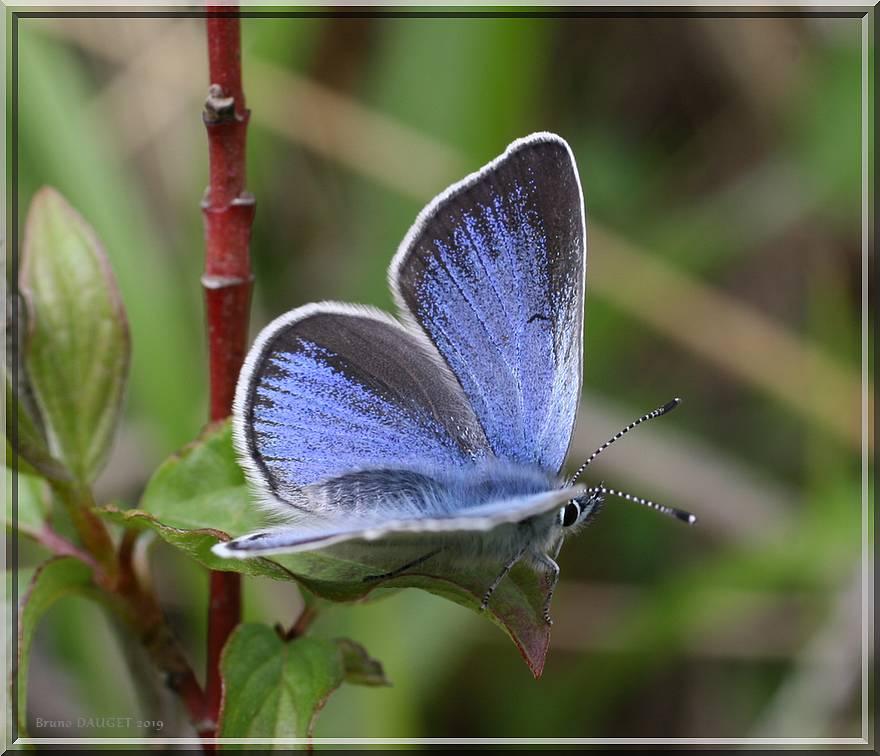 Azuré des Cytises posé ailes écartées