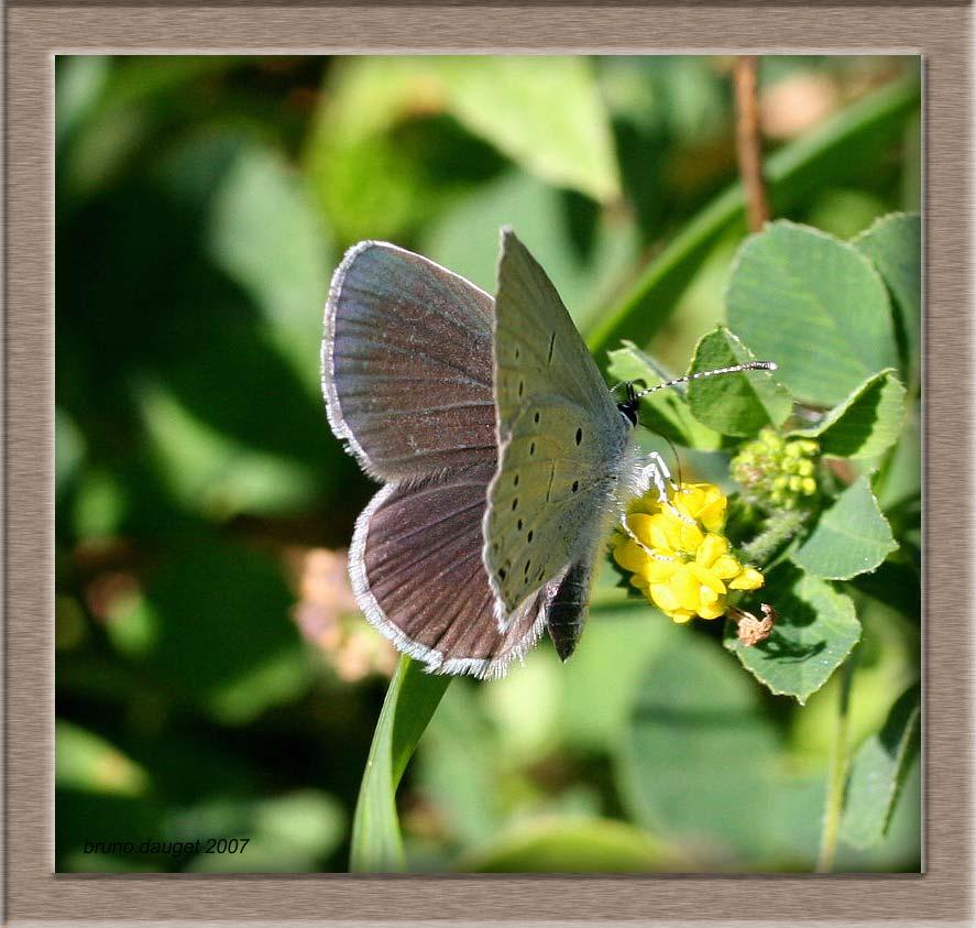 Azuré de la Faucille mâle butinant fleur jaune ailes écartées