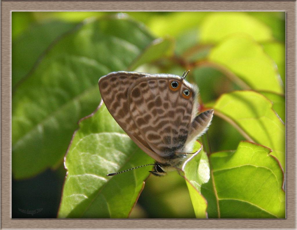 Azuré de la Luzerne posé sur feuille ailes repliées
