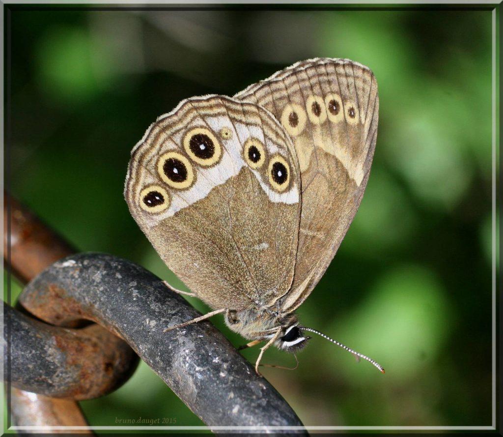 Bacchante posé ailes repliées