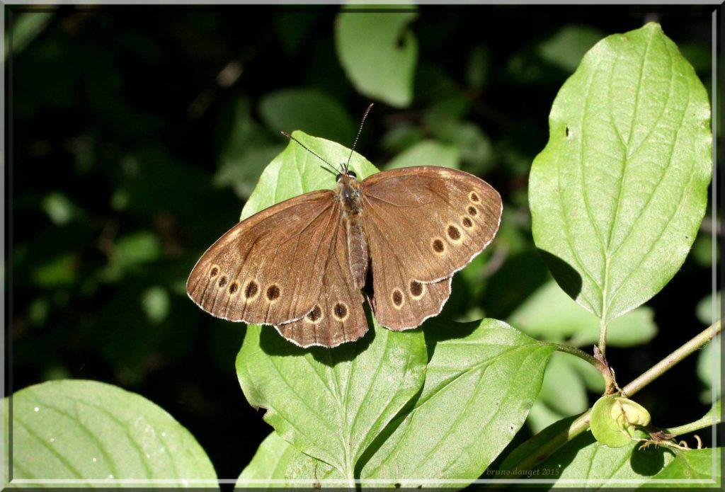 Bacchante posée sur feuille de Nerprun ailes écartées au soleil