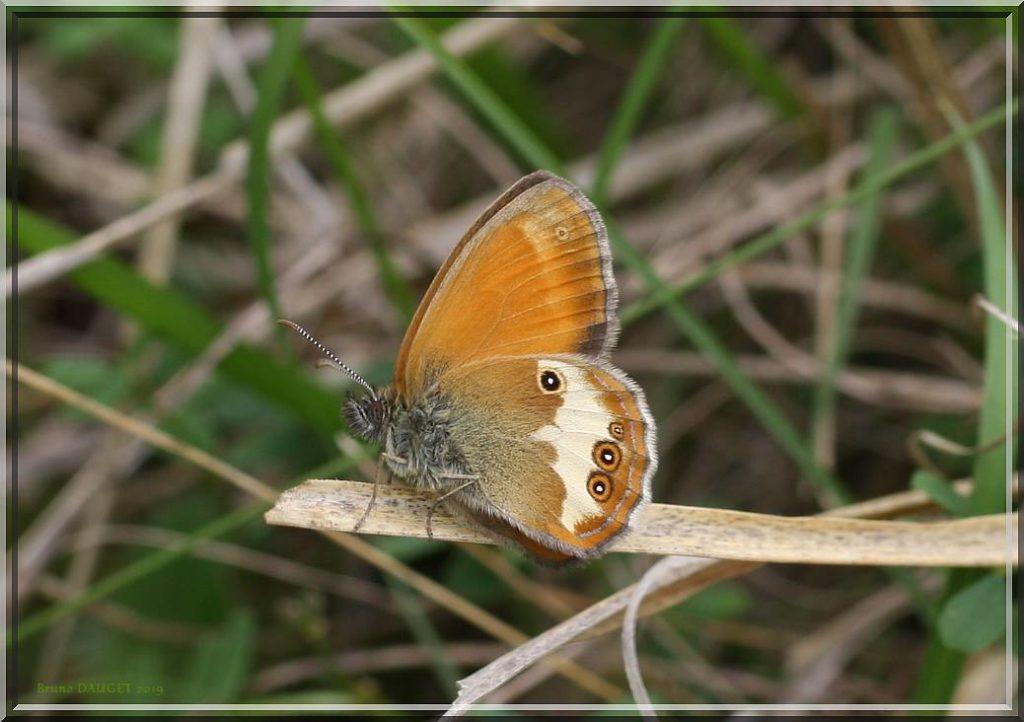 Céphale posé sur herbe sèche ailes repliées