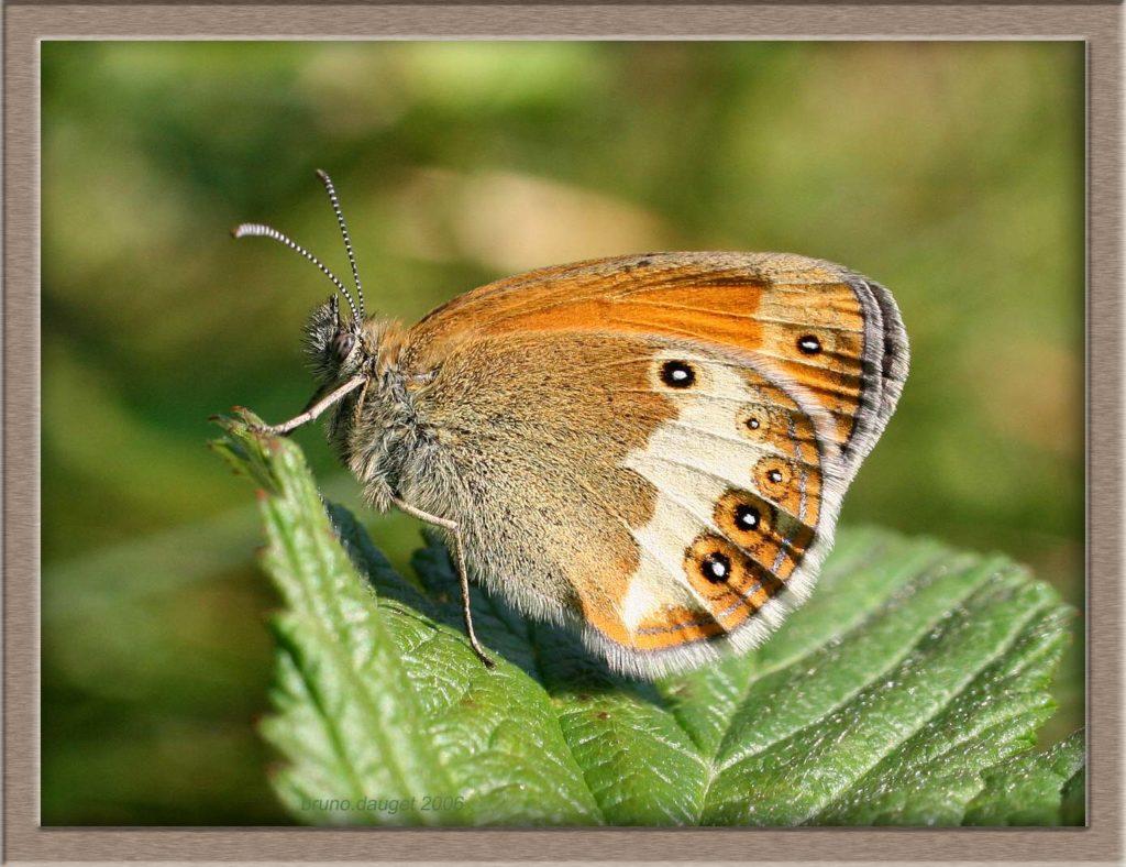 Céphale posé sur feuille ailes repliées