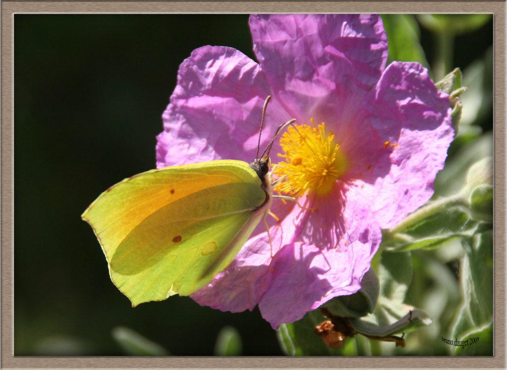 Citron de Provence mâle posé sur une fleur mauve de Ciste