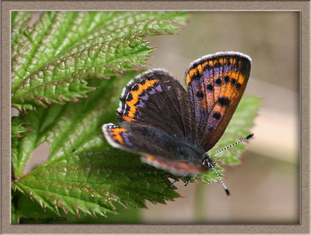 Cuivré de la Bistorte femelle posée sur une feuille ailes écartées