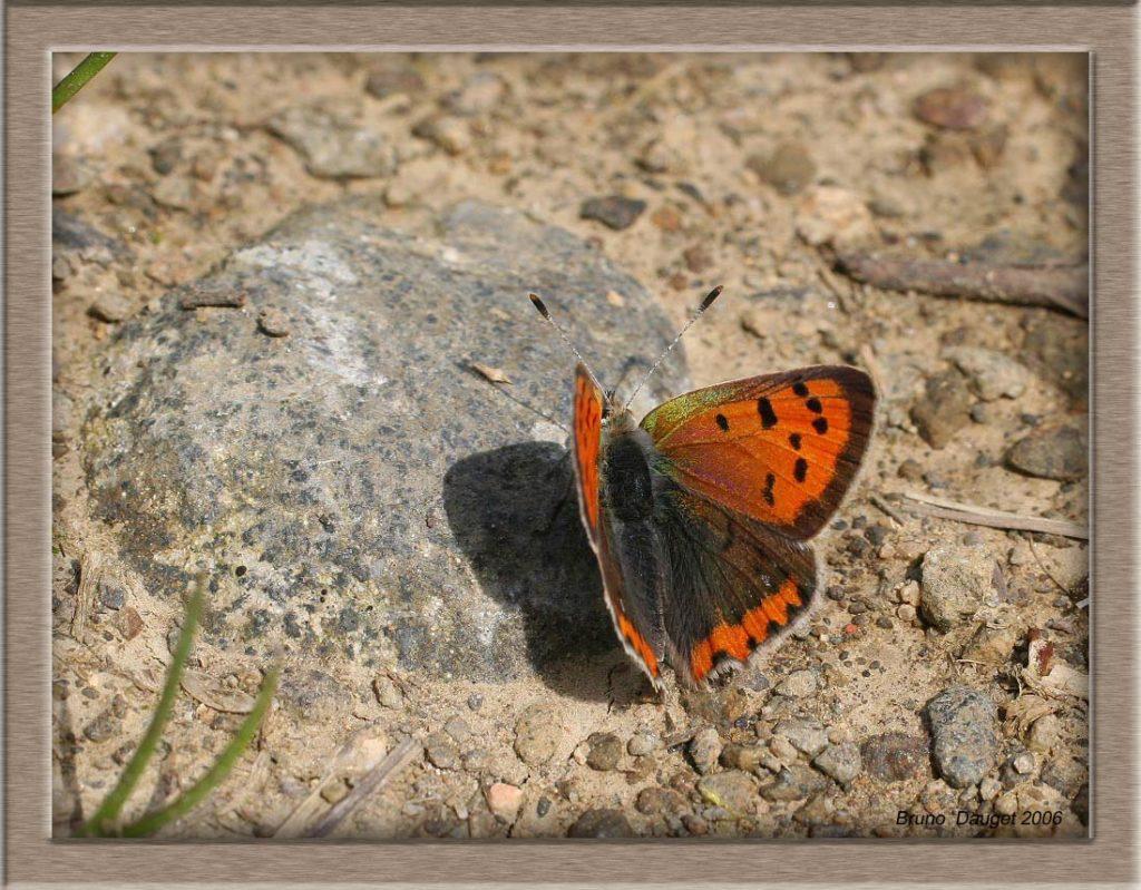 Cuivré commun posé au sol ailes écartées en direction du soleil