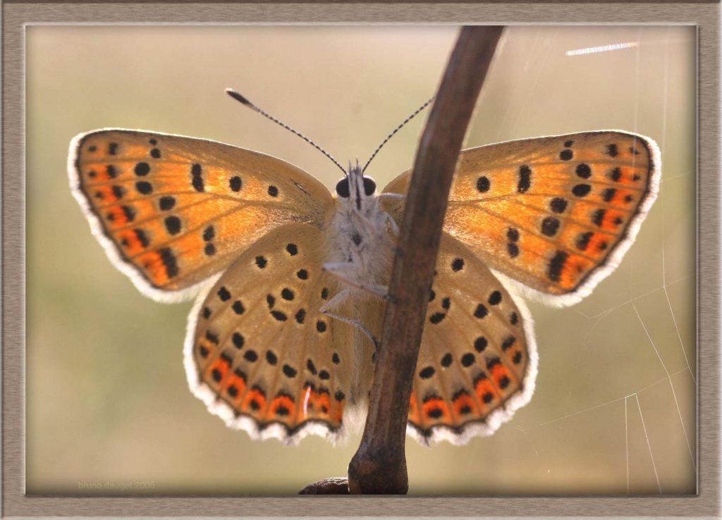 Cuivré fuligineux femelle posée sur une tige ailes écartées en direction du soleil