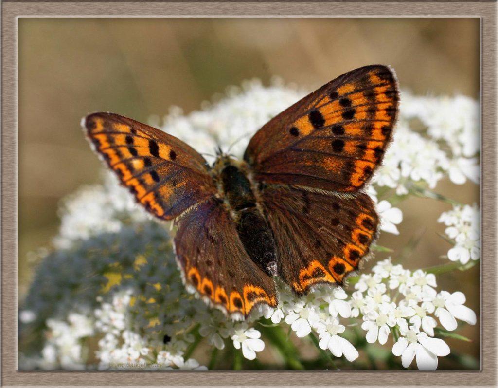 Cuivré fuligineux femelle posée sur une fleur blanche ailes écartées