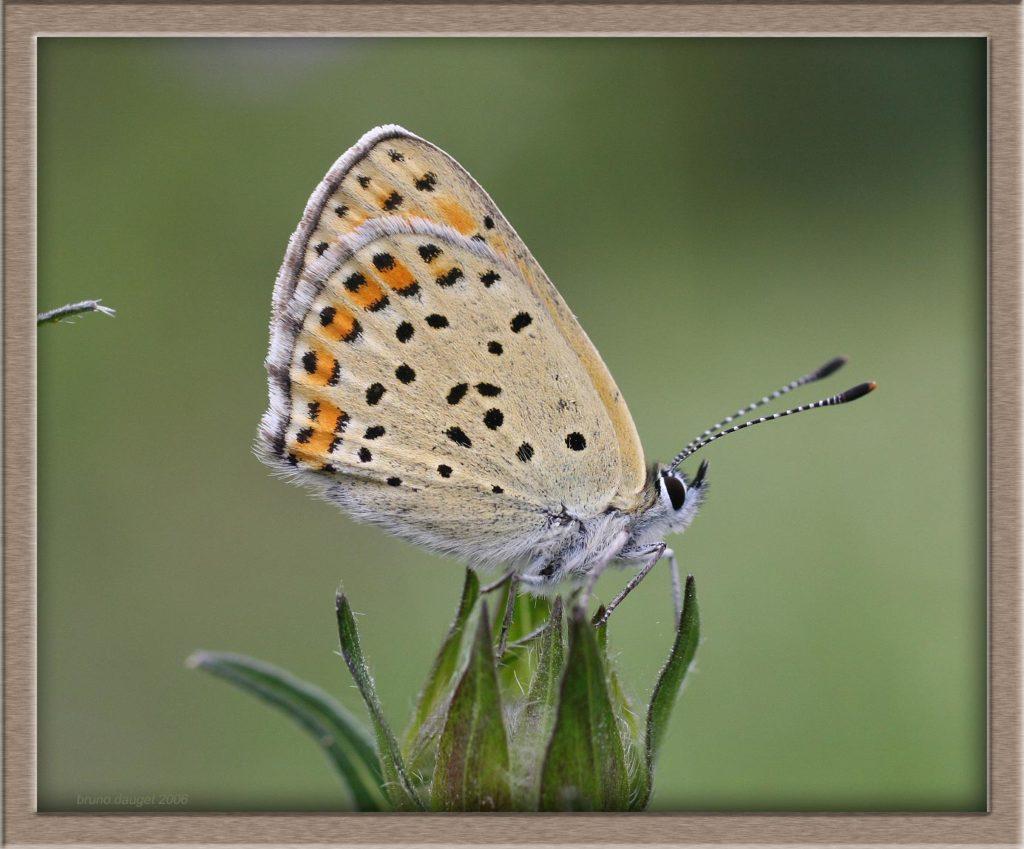 Cuivré fuligineux femelle positionnée au sommet d'un bouton floral ailes repliées