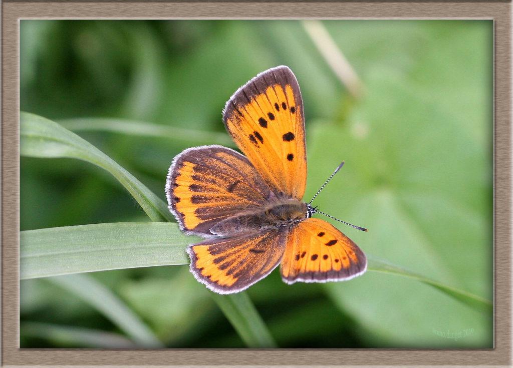 Cuivré des marais femelle posée sur herbe ailes écartées