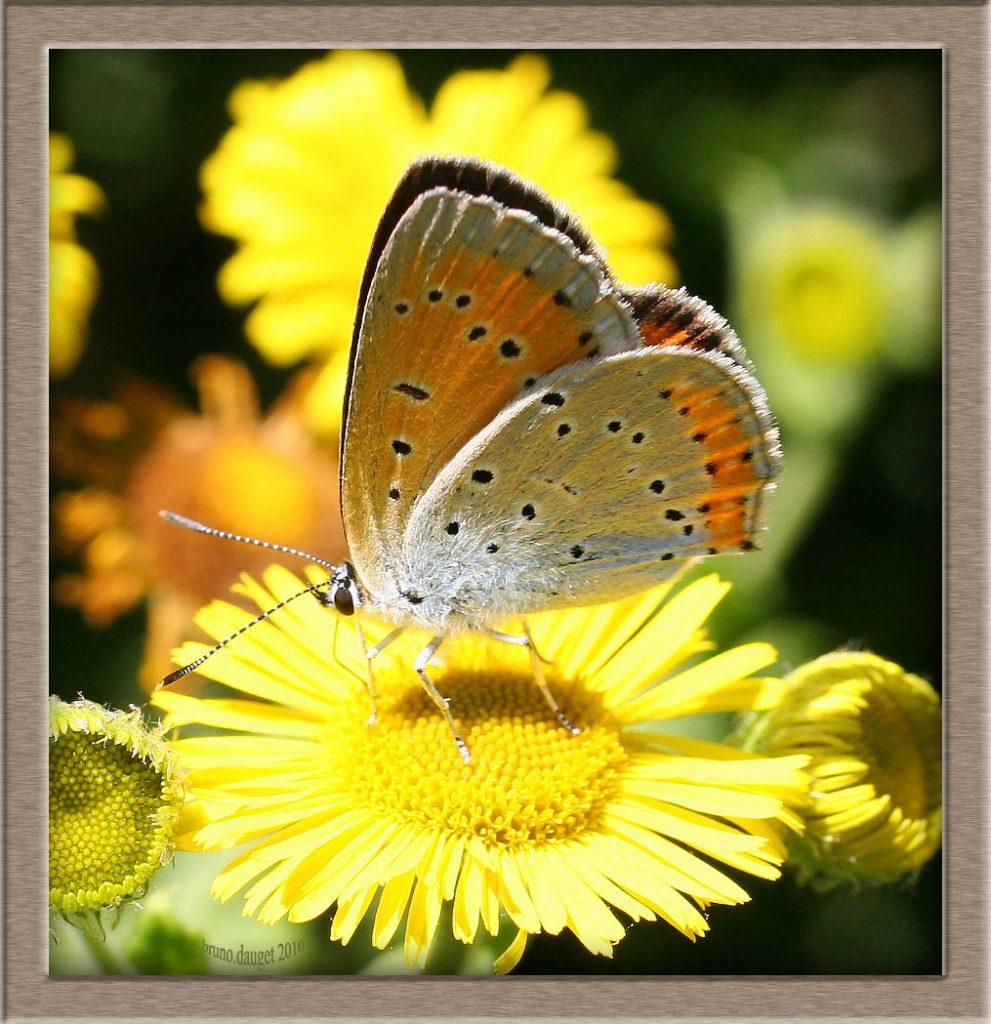 Cuivré des marais femelle butine fleur jaune ailes repliées