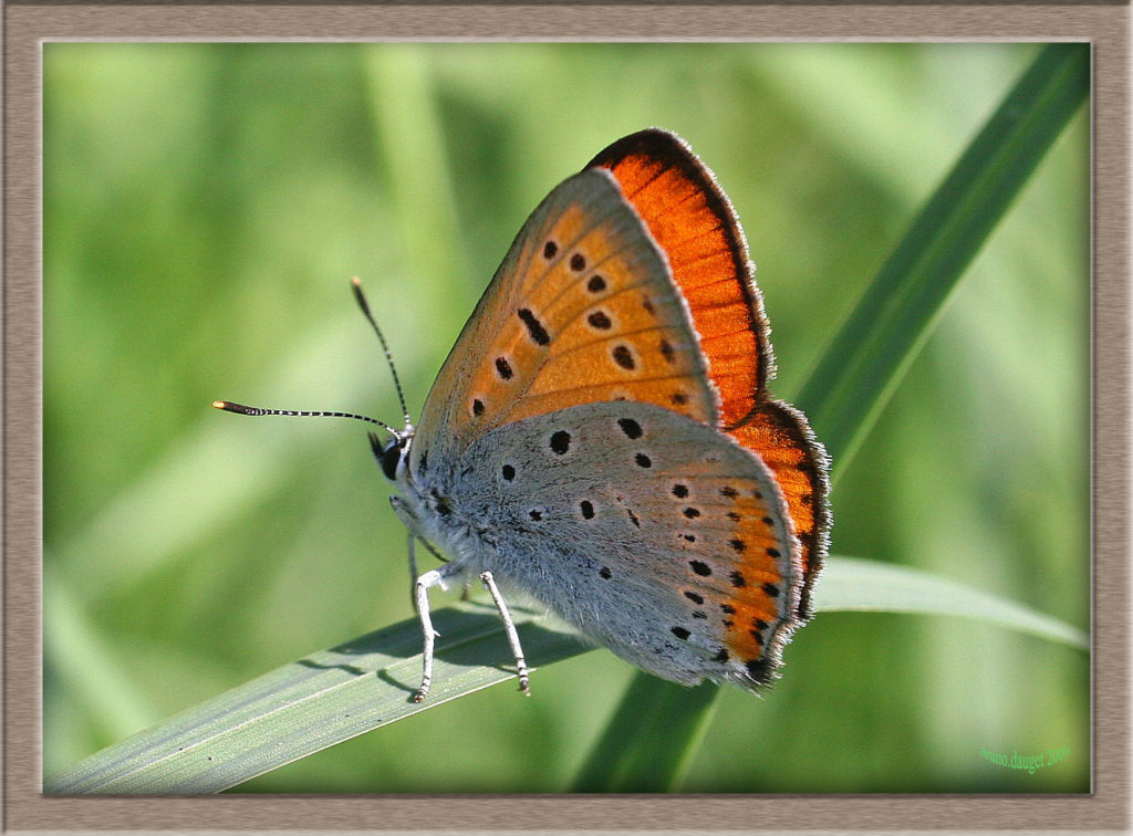 Cuivré des marais mâle posé sur herbe ailes entre-ouvertes