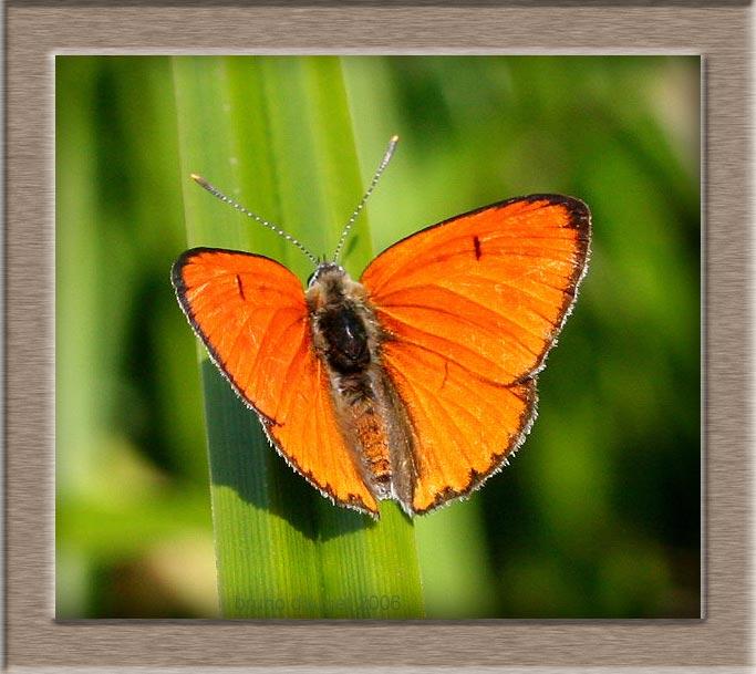 Cuivré des marais mâle posé sur feuille de Carex ailes écartées