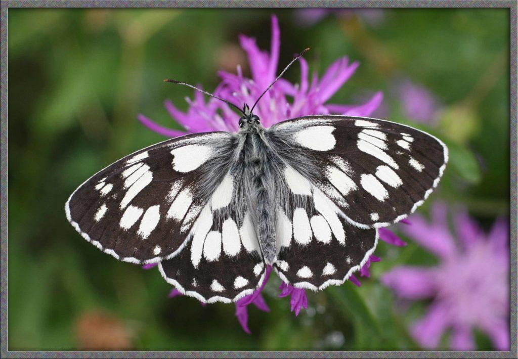 Demi-Deuil posé sur une fleur mauve de Centaurée ailes écartées